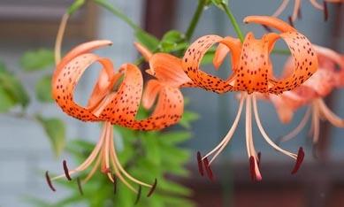Луковицы тигровых лилий гибридов